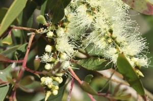-eucalyptus-citronne