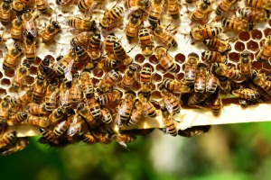 honey-bees-401238_1920