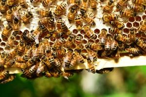 honey-bees-401238_1920