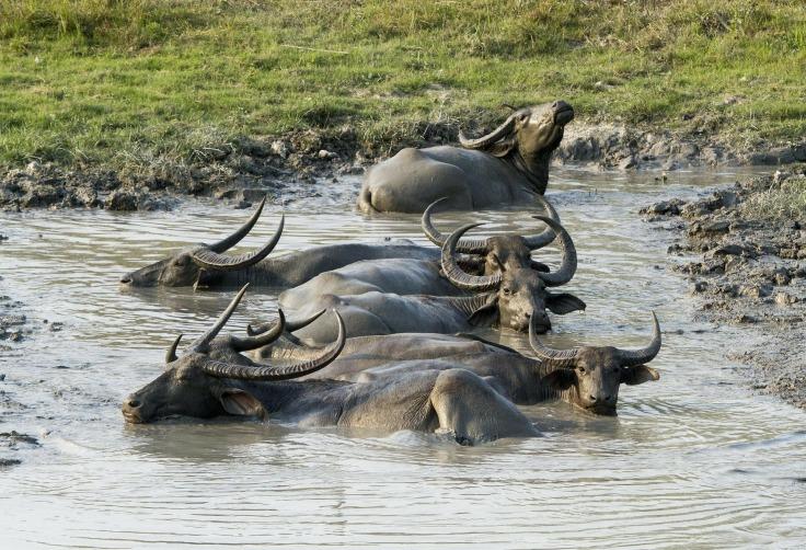 buffalo-335715_1920