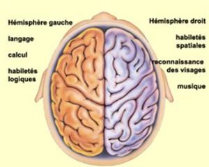 cerveau-300x240