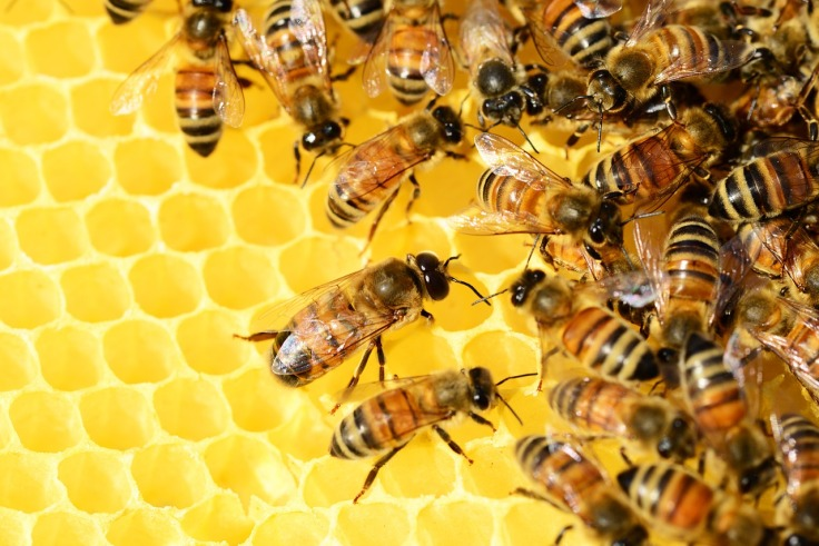 honey-bees-326337_1280