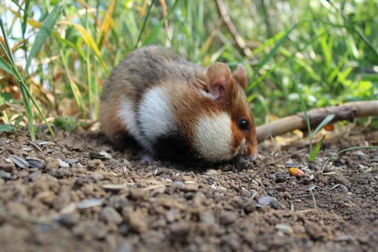 hamster-5150236_1280